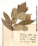René Chambe - Herbier Fleur libération Rome 5 juin 44